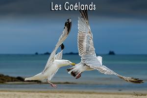 goelands