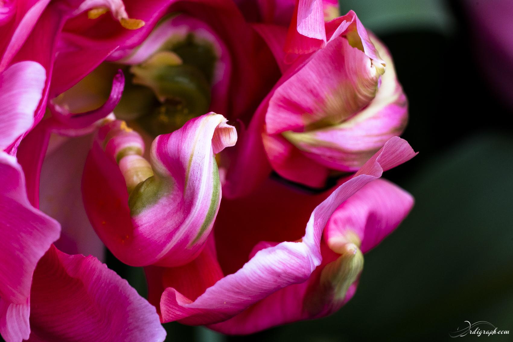 Keukenhof Fleur-12