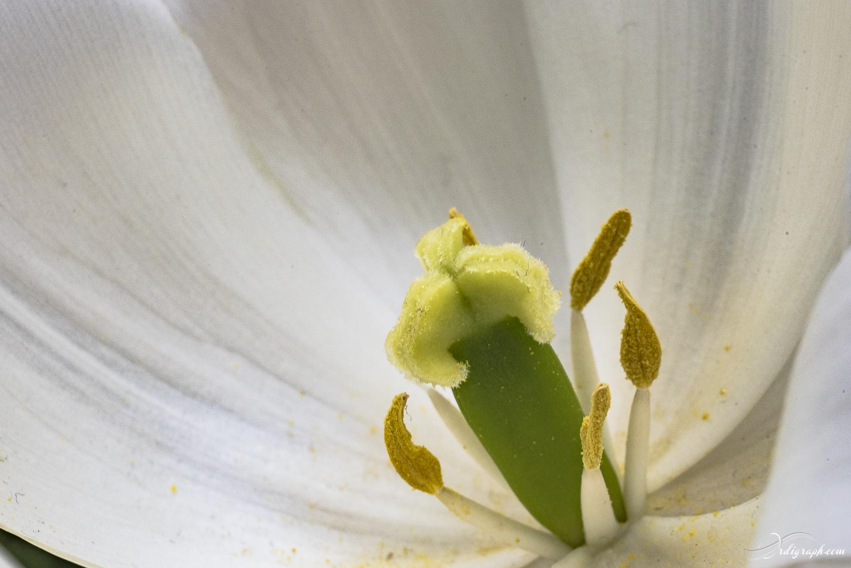 Keukenhof Fleur-13