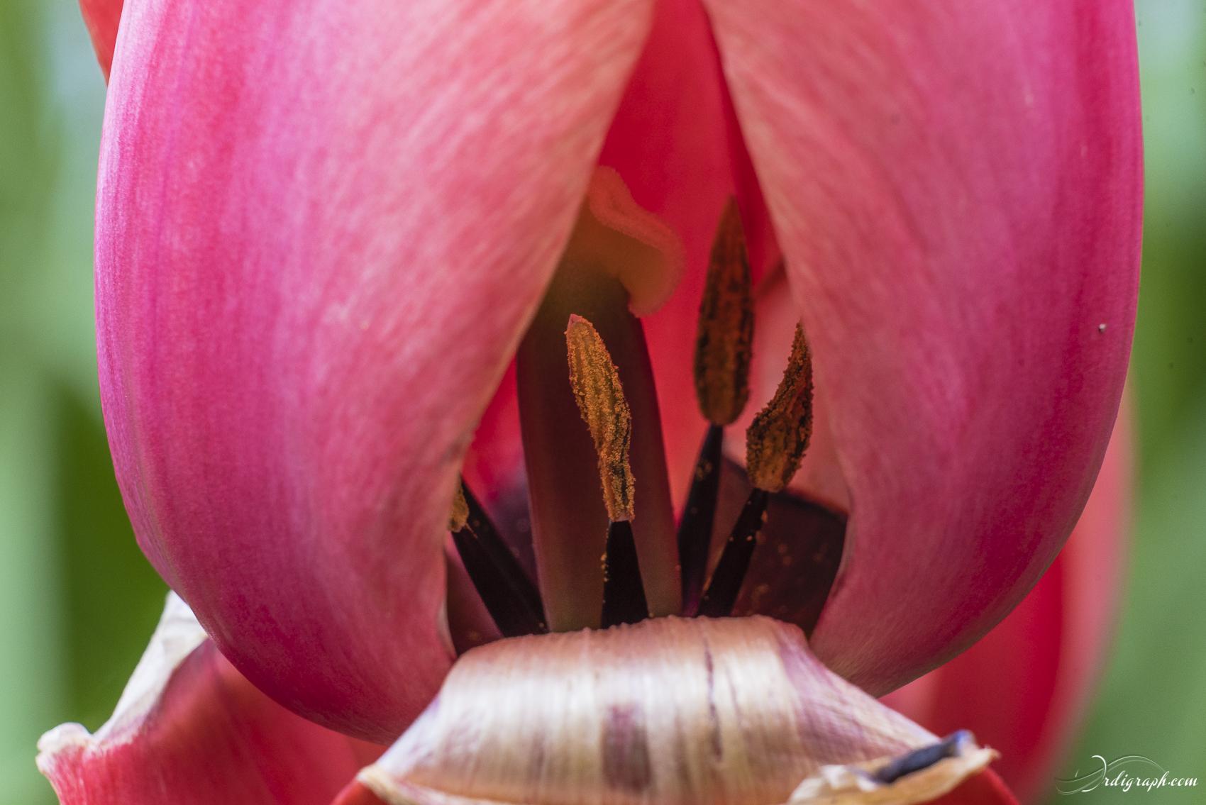 Keukenhof Fleur-2