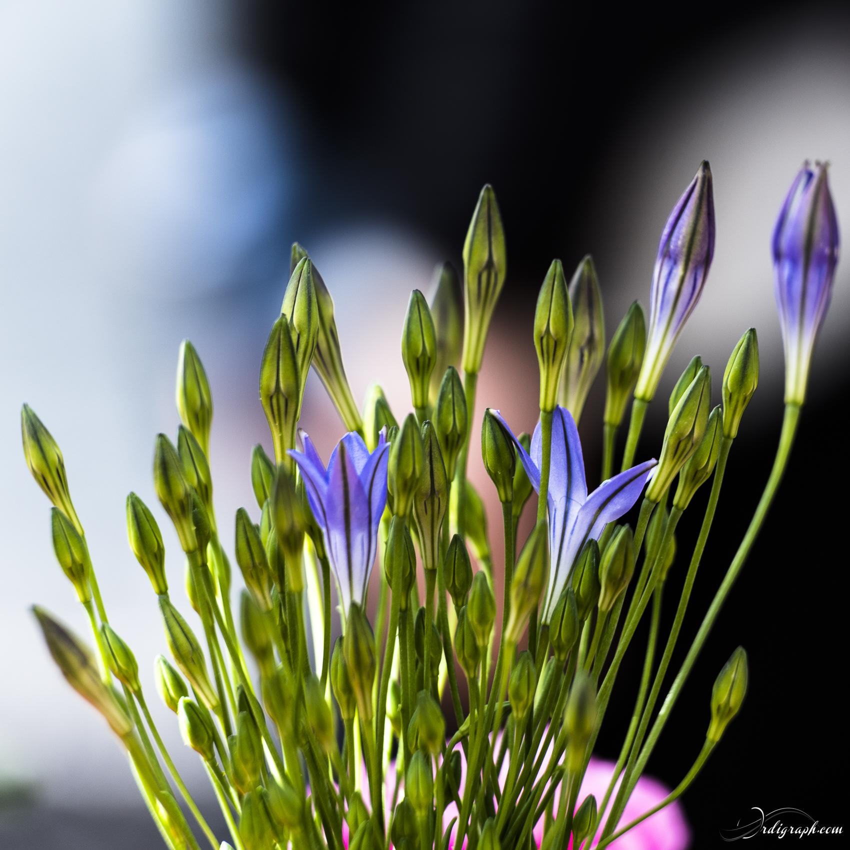 Keukenhof Fleur-48