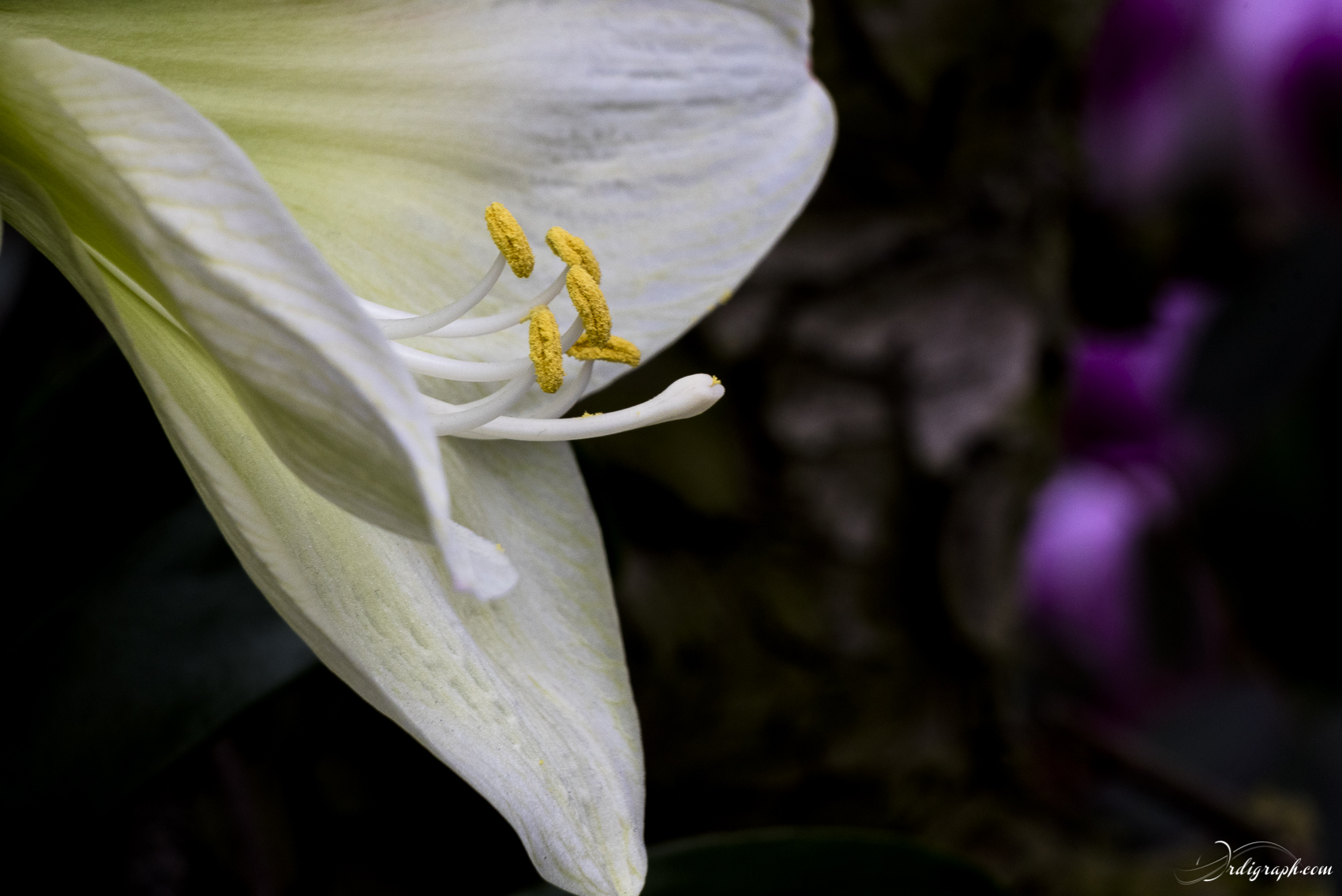 Keukenhof Fleur-8